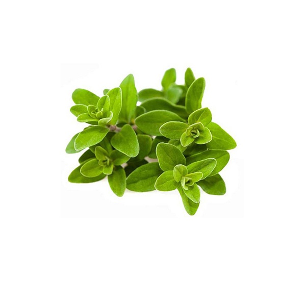 Fresh Marjoram - in Sri Lanka