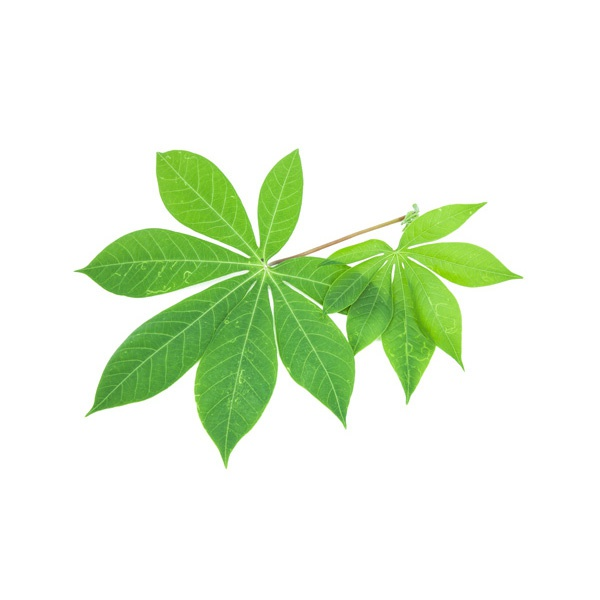 Maniok Leaves - in Sri Lanka